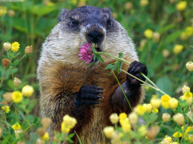 Happy Groundhog Day! (A day early.)