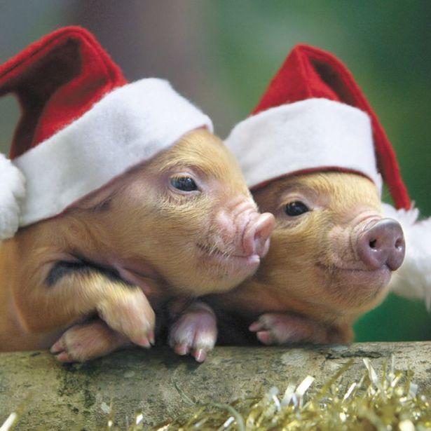 christmas-pet-pig